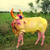 Indiens heilige Kühe